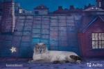 Котёнок шотландской породы страйт