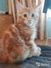 Котята мейн-куны