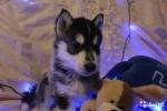 Очаровательные щенки Сибирской хаски