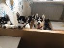 Продажа очаровательных щенков Хаски